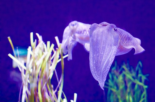 Unterwasserfoto von Tintenfischen
